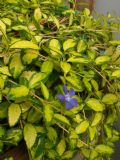 Vinca minor Imagine 1L Pot